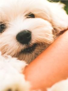 A cute maltese dog